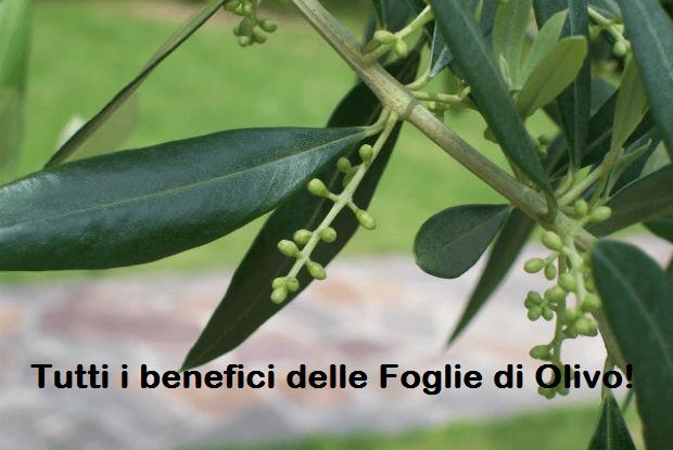 Foglie-di-olivo